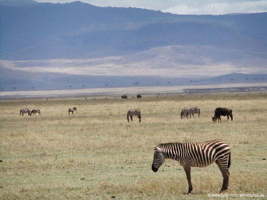 Tansania - Ngorongoro Krater - Zebras und Nashörner