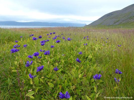 Island - Hornstrandir - Blumenwiese bei Hesteyri