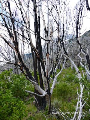 Chile - Parque Nacional Torres del Paine - W-Trek - Verkohlte Bäume