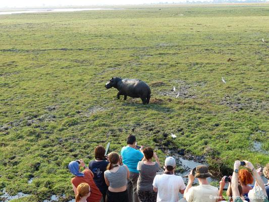 Botswana - Chobe Nationalpark - Nilpferd