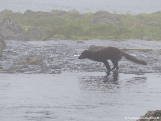 Island - Hornstrandir - Etappe 3 - Hornvík nach Hlöðuvík - Polarfuchs