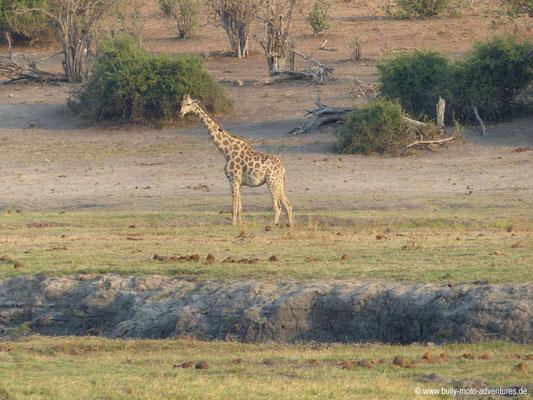 Botswana - Chobe Nationalpark - Giraffe