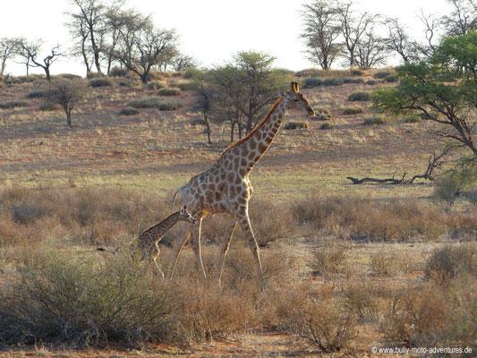 Namibia - Wildreservat der Auob Lodge - Giraffen