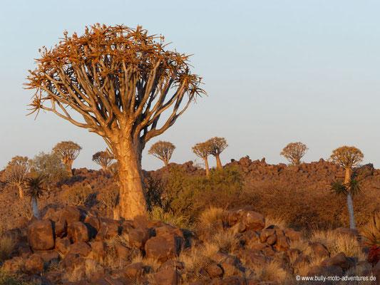 Namibia - Köcherbaumwald