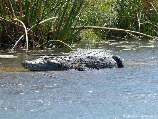 Botswana - Okavango Delta - Krokodil