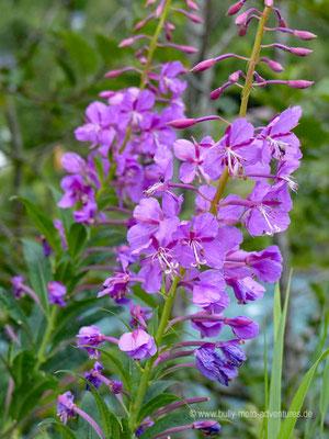 Norwegen - Blumen in der Nähe von Otta