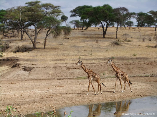 Tansania - Safari-Tour - Giraffen (Tarangire Nationalpark)