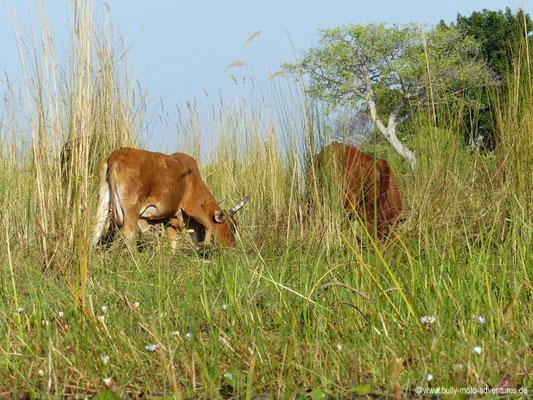 Botswana - Okavango Delta - Rinder mit Glocken - Alm-Feeling