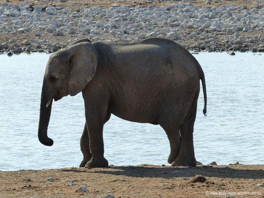 Namibia - Etosha Nationalpark - Elefant