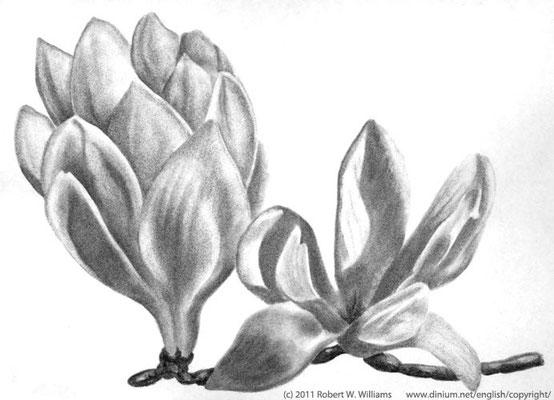 Magnolia er ca 100 millioner år gammelt, en tidlig blomsterplante fra krittperioden.