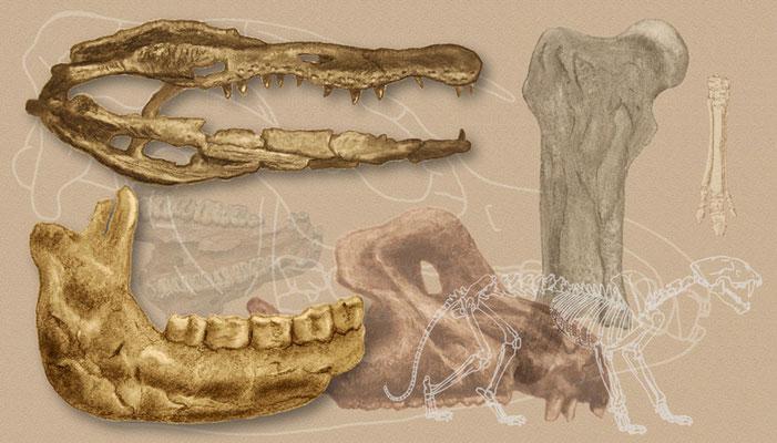 Kulltegning av kjeven (nederst til venstre) og skallen (nederst til høyre) av en bjørn. Øverst til venstre er en alligatorskalle, og et neshornlårbein øverst til høyre. Disse fossiler er funnet i nordøst-Tennessee, i sju millioner år gamle avsetninger.