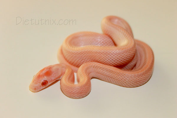 0.1 Mandarin Striped