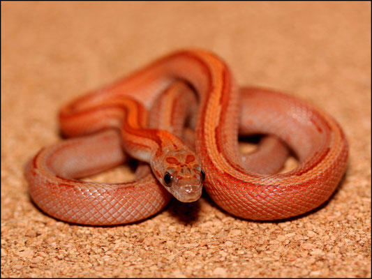 Lootah - 1.0 Bloodred Striped, het. Anery (Foto: schlangensucht.eu)
