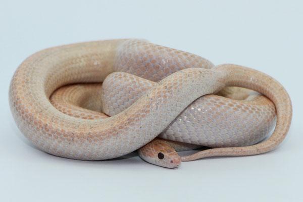 Jamali - 1.0 Plasma (Lavender Bloodred) (Foto: snake-fever.de)