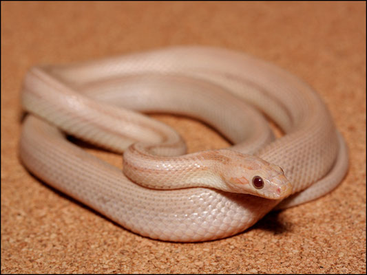 Arwen - 0.1 Hypo Lavender Striped (Foto: schlangensucht.eu)