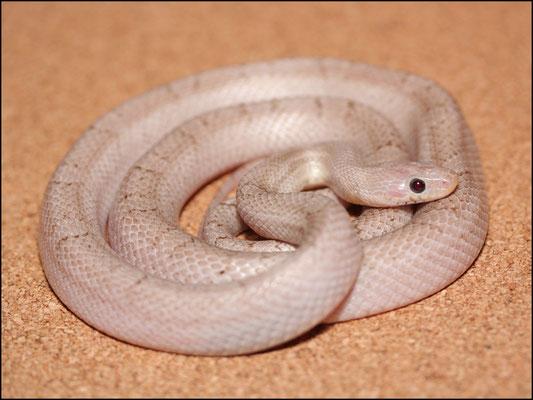 Elvis - 0.1 Hypo Pewter, ph. Lavender (Foto: schlangensucht.eu)