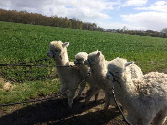 Alpakas-Wanderungen-Alpaca-Spaziergang