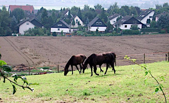 Pferde hinter dem Westring