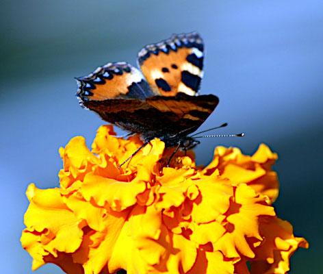 Tagetes mit Schmetterling