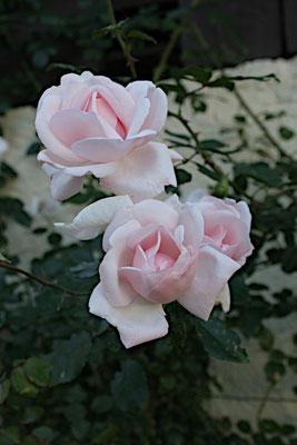 letzte Rosen