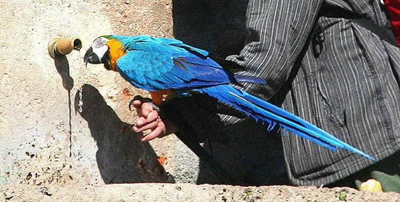 Granada, Papagei am Wasserspender