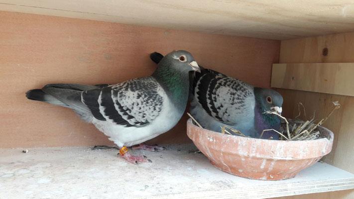 """""""Shani"""" (Links) is zoon van """"Sari""""  6.  NPO  Salbris tegen duiven 9.986d."""