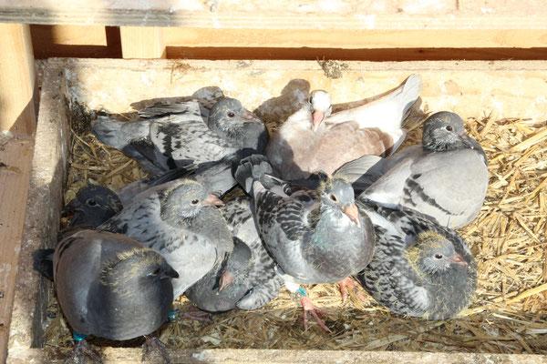 Jonge duiven 2016