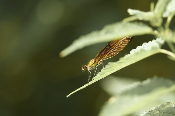 Caloptéryx hémorroïdal
