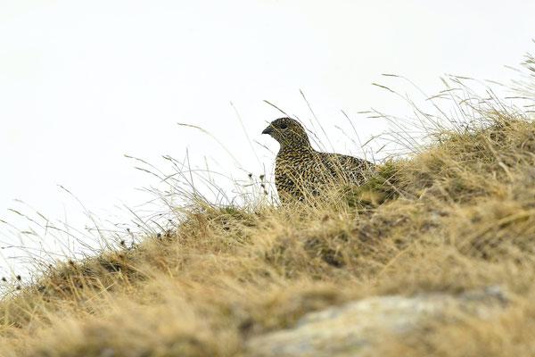 Lagopède alpin ♀
