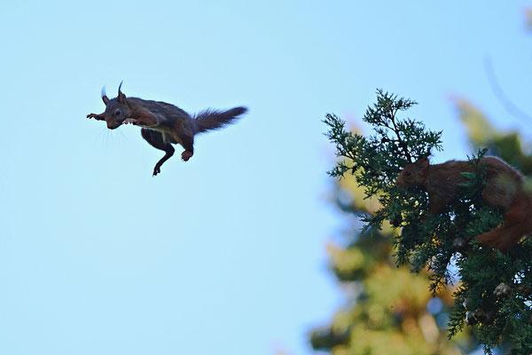 Poursuite d'écureuils roux