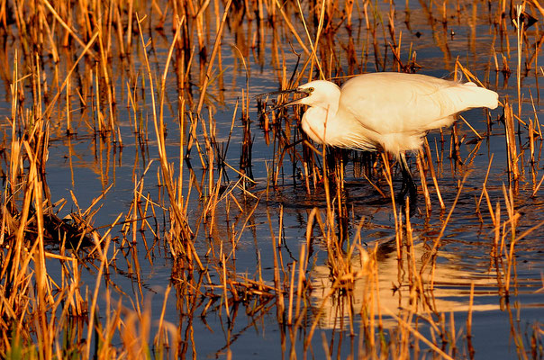 Aigrette gazette