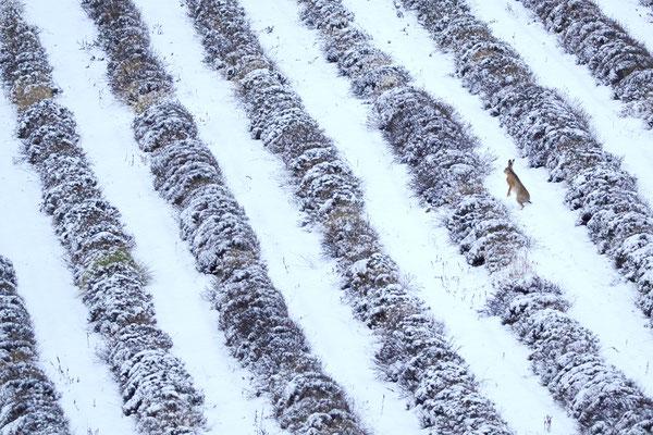 Lièvre brun et lavandes enneigées