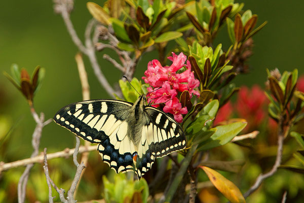 Machaon sur rhododendron