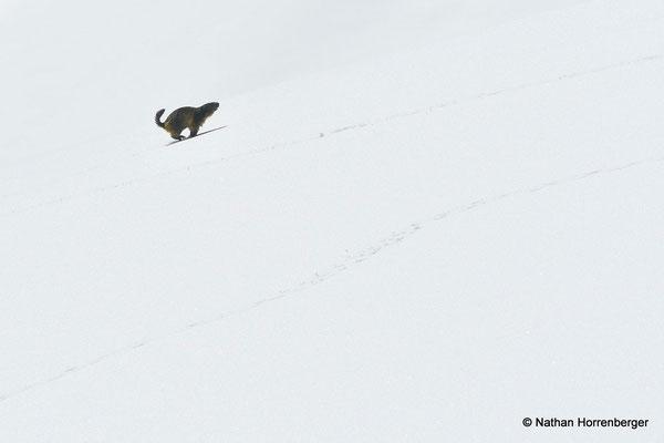 Marmotte courant dans la neige