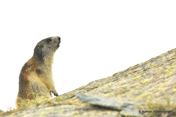 Mermotte
