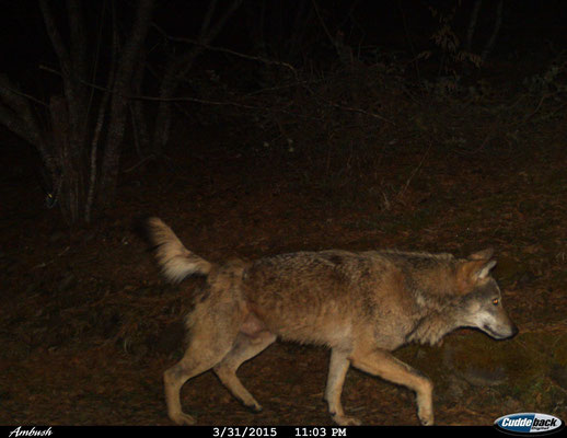 Loup, image issue d'un piège photographique (© Macedonian Ecological Society)