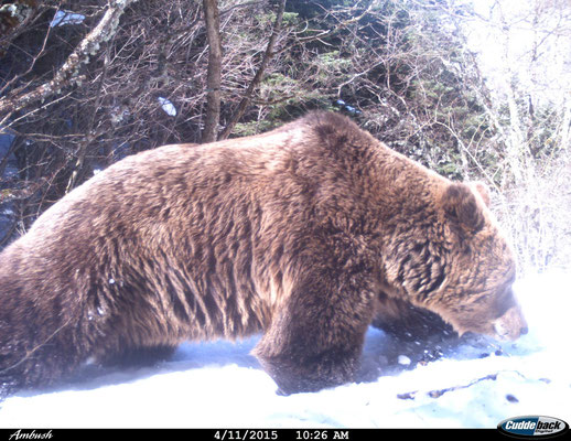 Ours, image issue d'un piège photographique (© Macedonian Ecological Society)