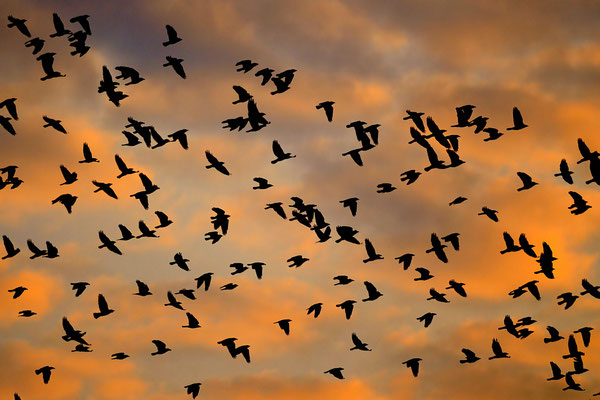 Vol de Corneilles noires au couchant