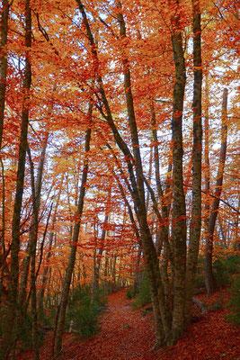 Hêtraie à l'automne, Vosges