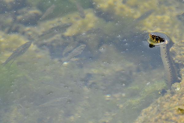 Couleuvre à collier et poissons