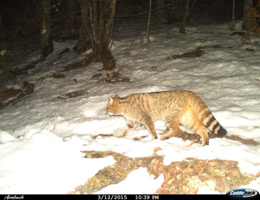 Chat forestier, image issue d'un piège photographique (© Macedonian Ecological Society)