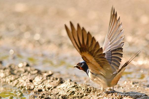 Hirondelle rustique récoltant de la terre pour construire son nid