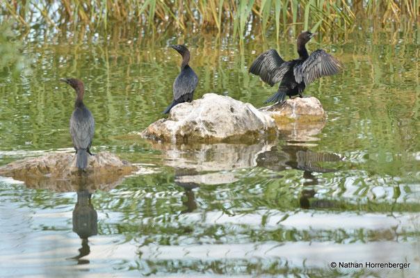 Cormorans pygmées