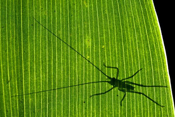 Sauterelle sur une feuille de muguet