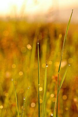Gouttes de rosée dans les herbes