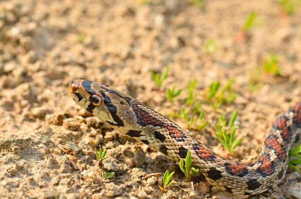 Couleuvre léopard
