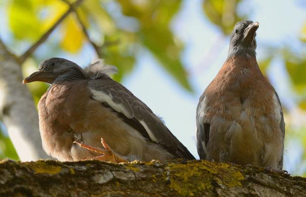 Pigeons ramiers juvéniles
