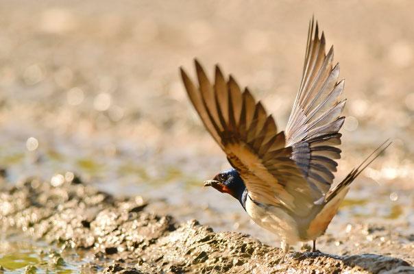 Hirondelle rustique récoltant de la boue pour construire son nid
