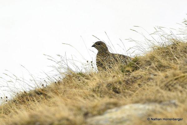 Lagopède alpin femelle