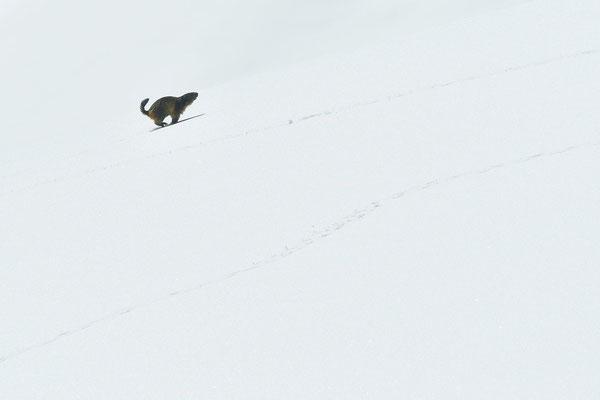 Marmotte des Alpes dans la neige